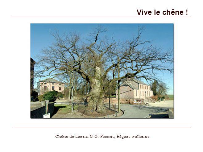 Vive le chêne ! Chêne de Liernu © G. Focant, Région wallonne