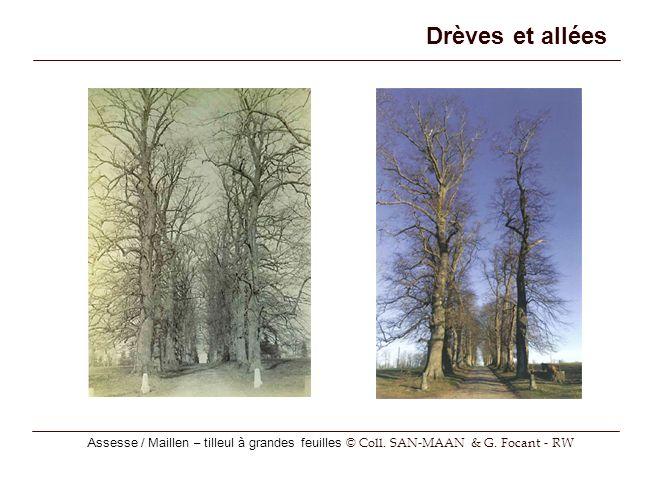 Assesse / Maillen – tilleul à grandes feuilles © Coll. SAN-MAAN & G. Focant - RW Drèves et allées