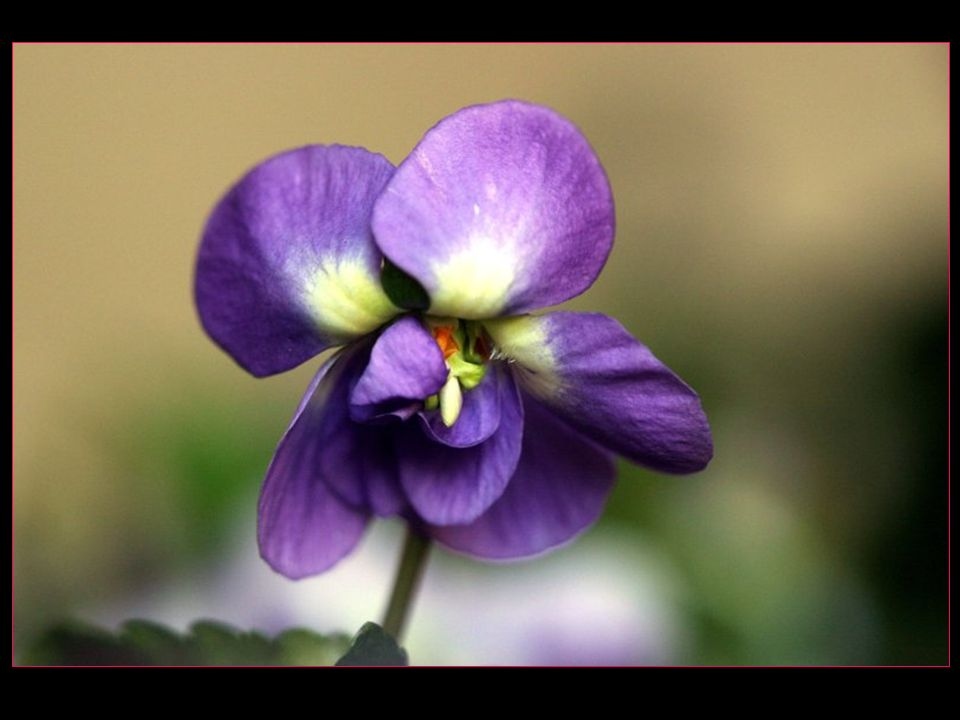Le développement de la culture de la violette de Toulouse au XIX me siècle lui vaut aussi le surnom de cité des violettes