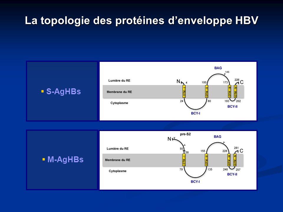 La topologie des protéines denveloppe HBV S-AgHBs M-AgHBs