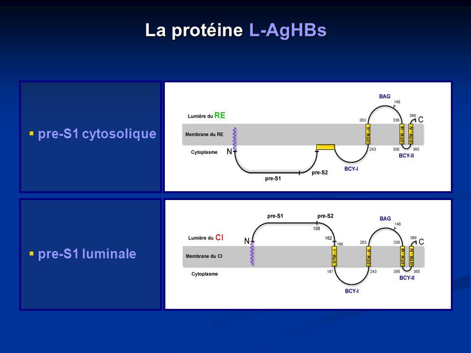 La protéine L-AgHBs pre-S1 cytosolique pre-S1 luminale CI RE