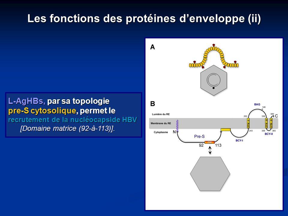 L-AgHBs, par sa topologie pre-S cytosolique, permet le recrutement de la nucléocapside HBV [Domaine matrice (92-à-113)]. [Domaine matrice (92-à-113)].