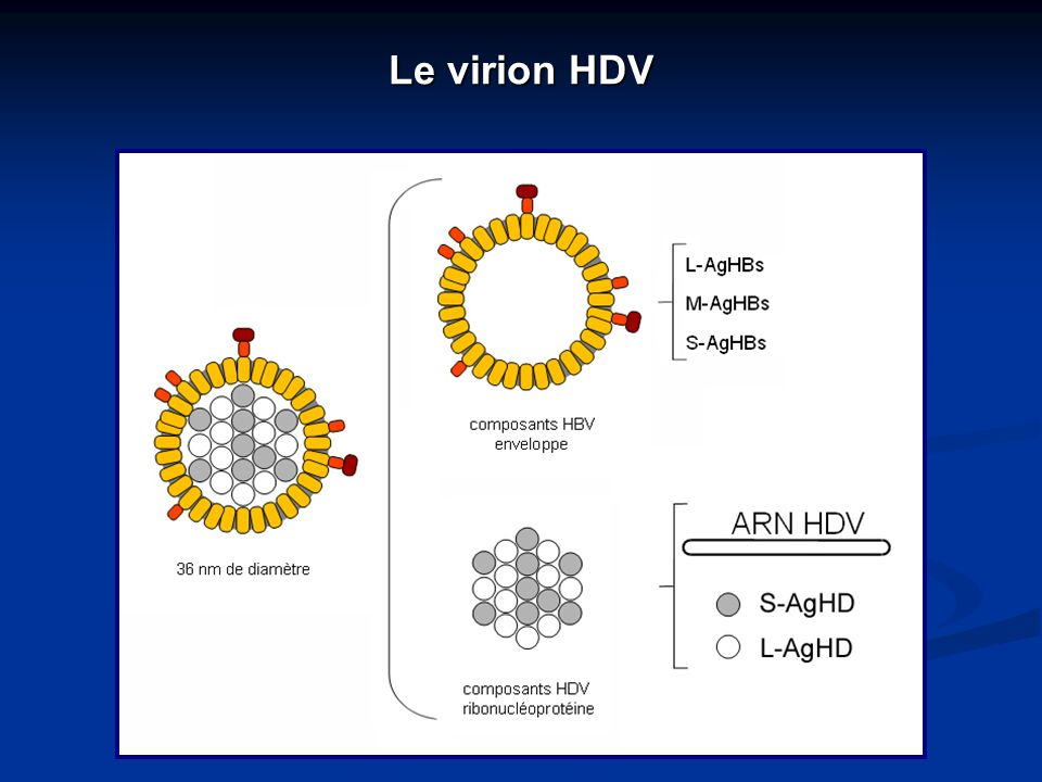 Le virion HDV