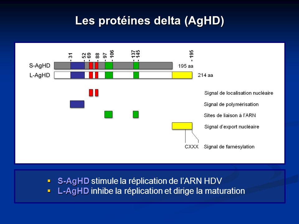 Les protéines delta (AgHD) S-AgHD S-AgHD stimule la réplication de lARN HDV L-AgHD L-AgHD inhibe la réplication et dirige la maturation
