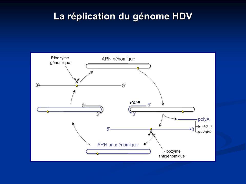 La réplication du génome HDV Pol-II