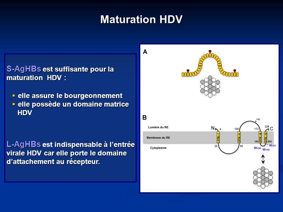 Maturation HDV S-AgHBs est suffisante pour la maturation HDV : elle assure le bourgeonnement elle assure le bourgeonnement elle possède un domaine mat