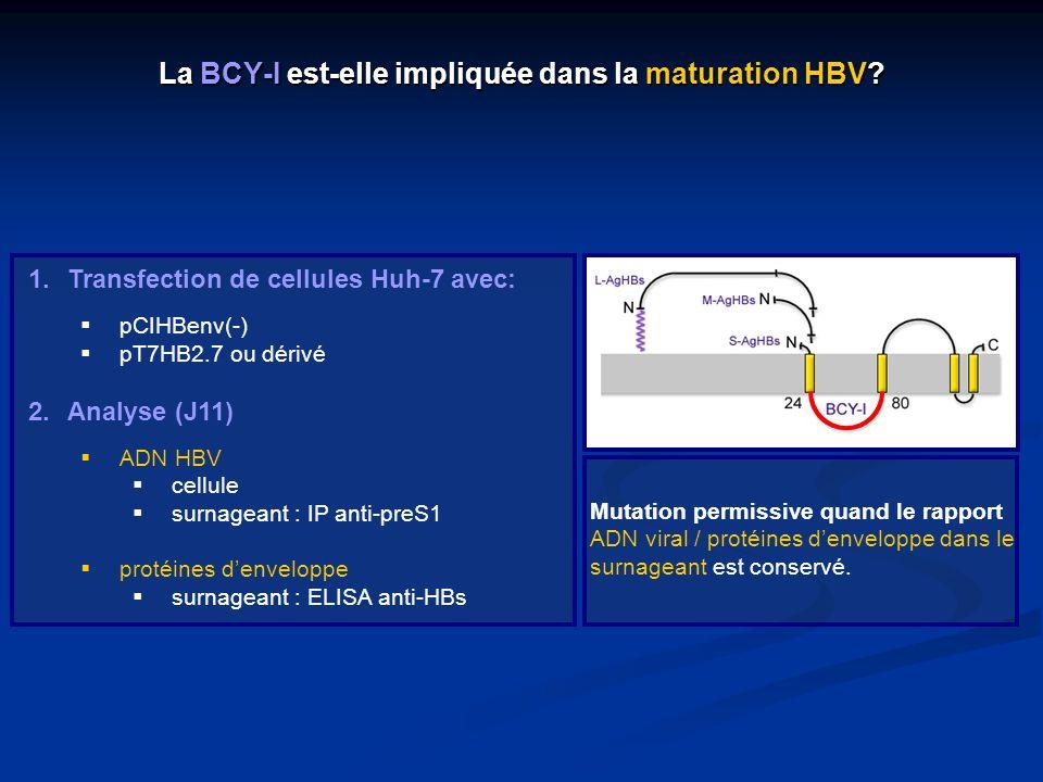 La BCY-I est-elle impliquée dans la maturation HBV? 1.Transfection de cellules Huh-7 avec: pCIHBenv(-) pT7HB2.7 ou dérivé 2.Analyse (J11) ADN HBV cell