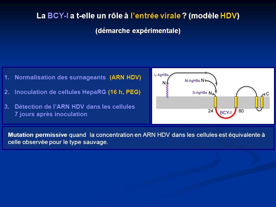 La BCY-I a t-elle un rôle à lentrée virale ? (modèle HDV) (démarche expérimentale) 1.Normalisation des surnageants (ARN HDV) 2.Inoculation de cellules