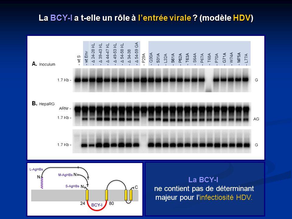 La BCY-I ne contient pas de déterminant majeur pour linfectiosité HDV. La BCY-I a t-elle un rôle à lentrée virale ? (modèle HDV)