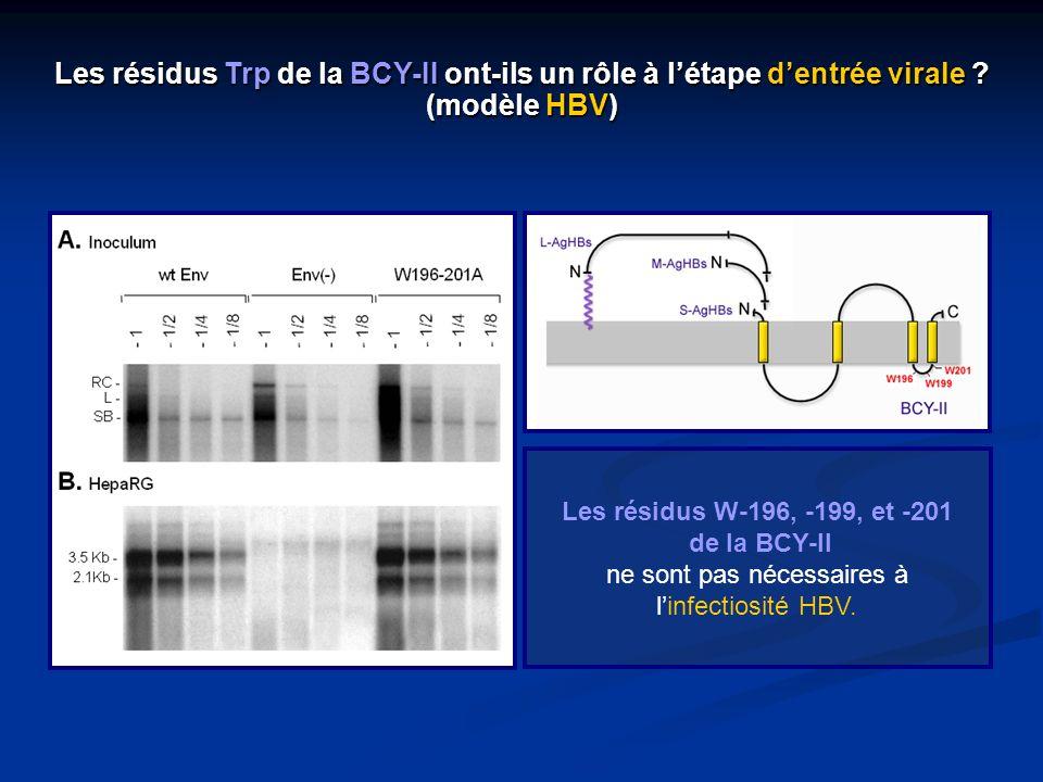 Les résidus W-196, -199, et -201 de la BCY-II ne sont pas nécessaires à linfectiosité HBV. Les résidus Trp de la BCY-II ont-ils un rôle à létape dentr
