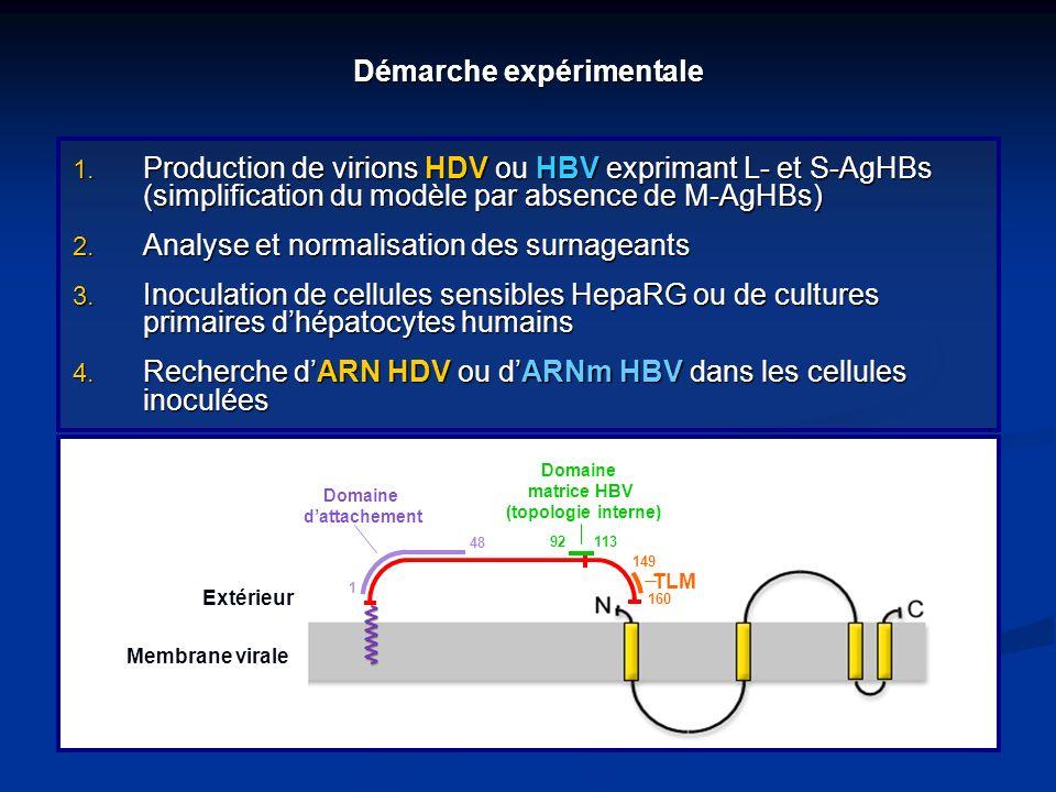 Démarche expérimentale 1. Production de virions HDV ou HBV exprimant L- et S-AgHBs (simplification du modèle par absence de M-AgHBs) 2. Analyse et nor