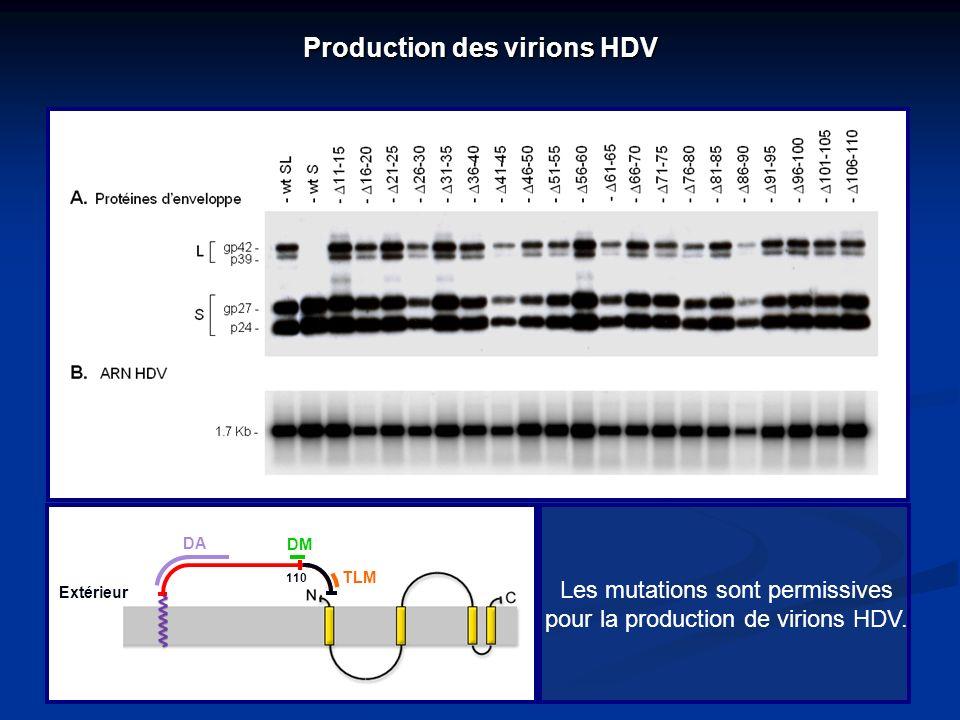Production des virions HDV Les mutations sont permissives pour la production de virions HDV. Extérieur DA DM TLM 110