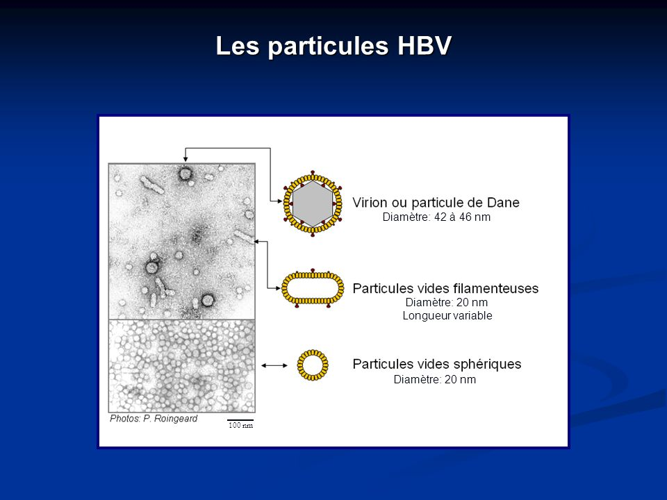 Les particules HBV 100 nm Diamètre: 42 à 46 nm Diamètre: 20 nm Longueur variable Diamètre: 20 nm