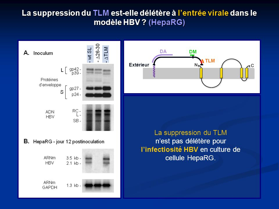La suppression du TLM nest pas délétère pour linfectiosité HBV en culture de cellule HepaRG. Extérieur DA DM TLM La suppression du TLM est-elle délétè