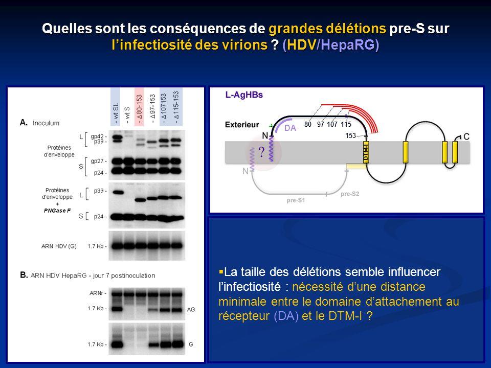 La taille des délétions semble influencer linfectiosité : nécessité dune distance minimale entre le domaine dattachement au récepteur (DA) et le DTM-I
