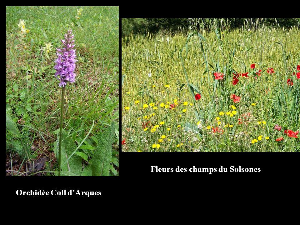 Orchidée Coll dArques Fleurs des champs du Solsones