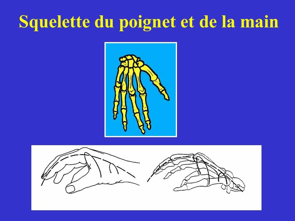 Squelette du poignet et de la main