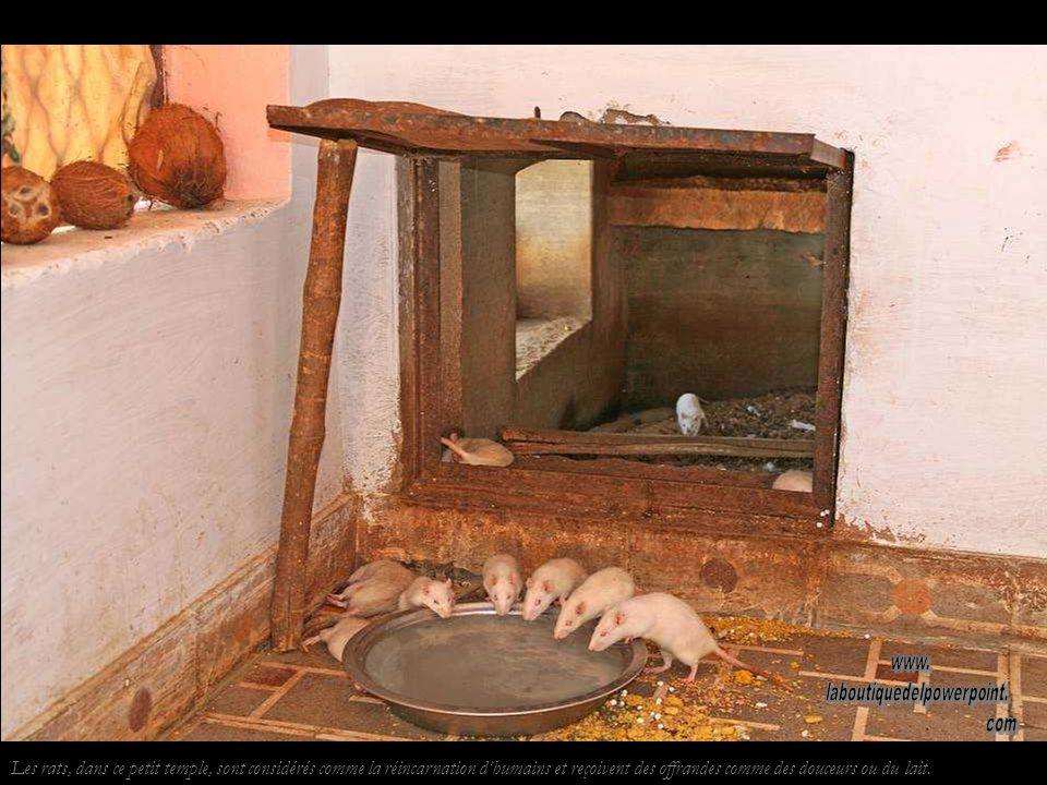 Les rats, dans ce petit temple, sont considérés comme la réincarnation dhumains et reçoivent des offrandes comme des douceurs ou du lait.