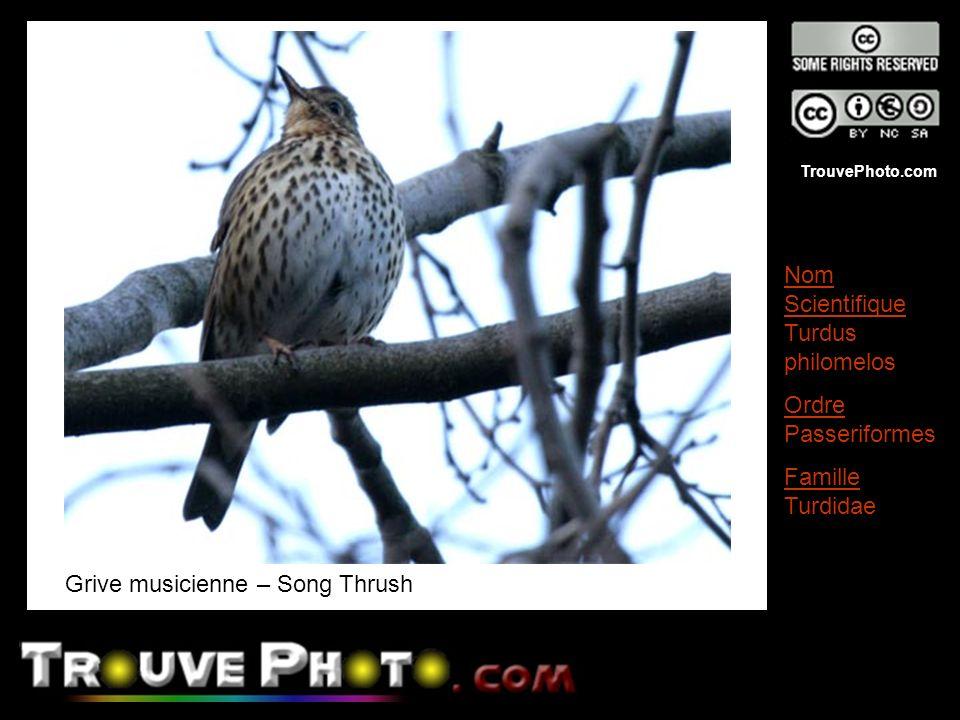 TrouvePhoto.com Grive musicienne – Song Thrush Nom Scientifique Turdus philomelos Ordre Passeriformes Famille Turdidae