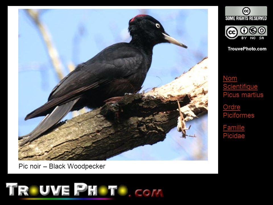 TrouvePhoto.com Pic noir – Black Woodpecker Nom Scientifique Picus martius Ordre Piciformes Famille Picidae