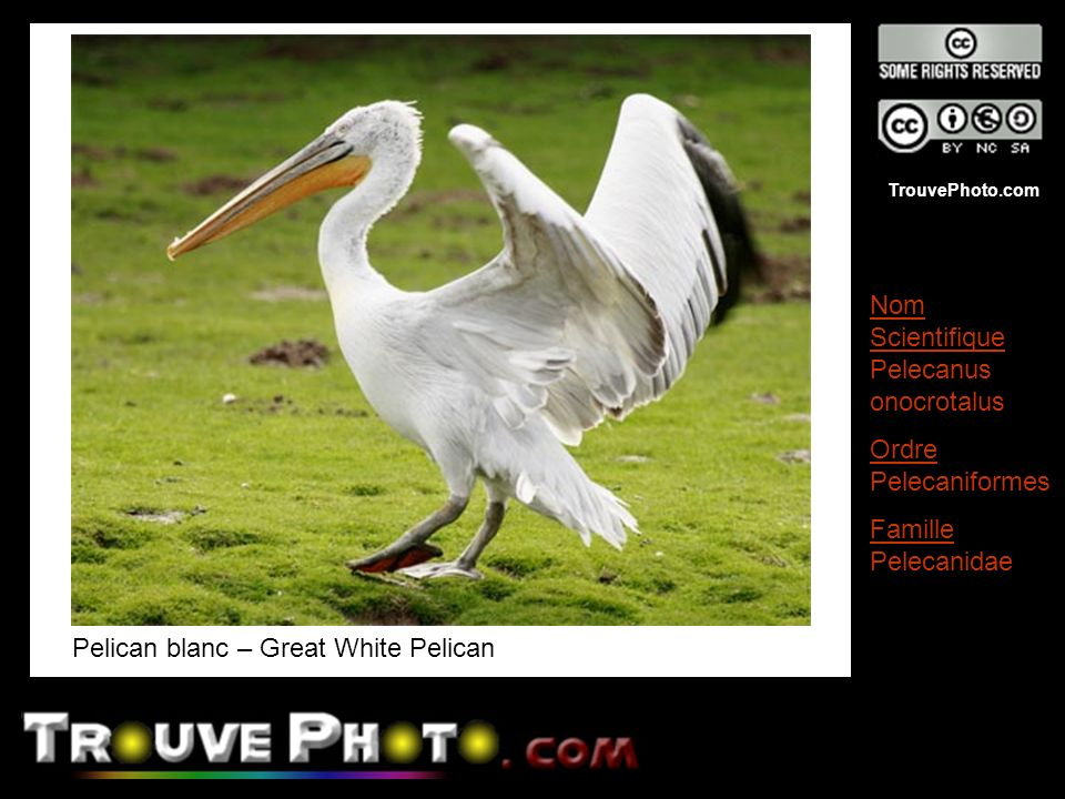 TrouvePhoto.com Pelican blanc – Great White Pelican Nom Scientifique Pelecanus onocrotalus Ordre Pelecaniformes Famille Pelecanidae