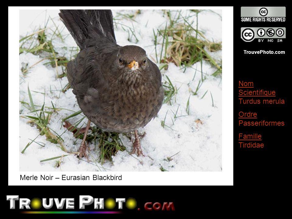 TrouvePhoto.com Merle Noir – Eurasian Blackbird Nom Scientifique Turdus merula Ordre Passeriformes Famille Tirdidae