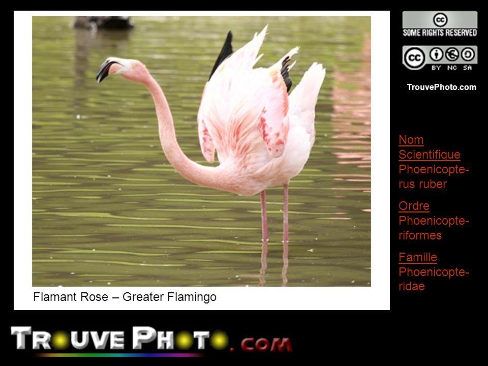 TrouvePhoto.com Flamant Rose – Greater Flamingo Nom Scientifique Phoenicopte- rus ruber Ordre Phoenicopte- riformes Famille Phoenicopte- ridae