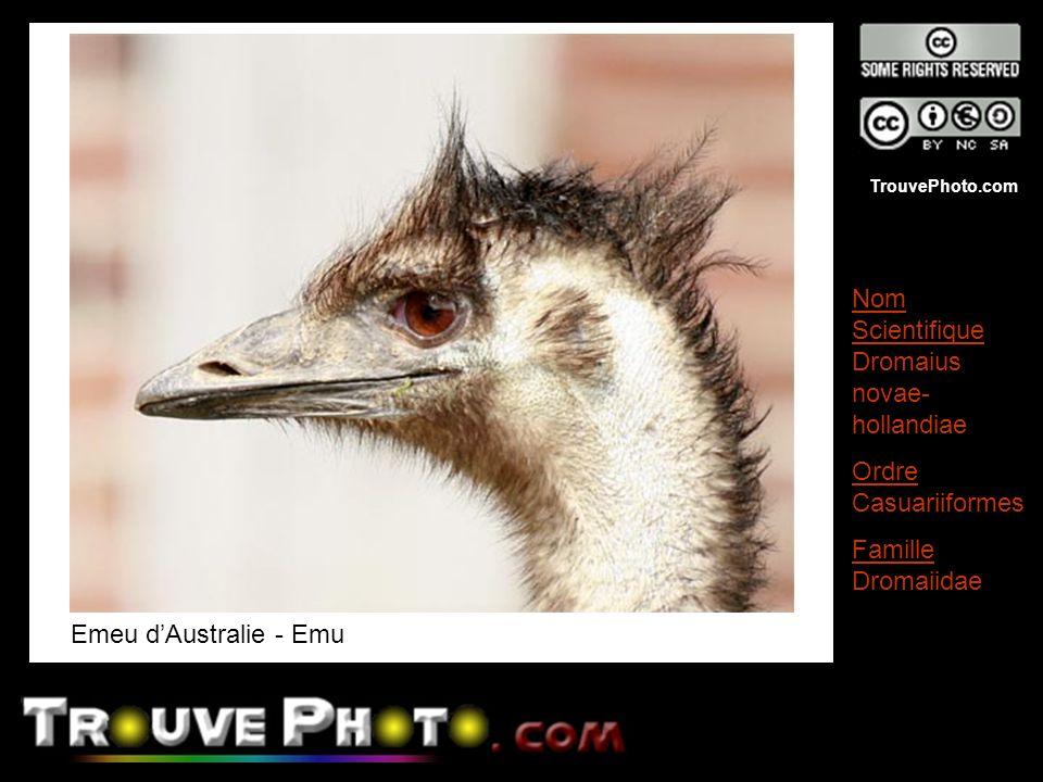 TrouvePhoto.com Emeu dAustralie - Emu Nom Scientifique Dromaius novae- hollandiae Ordre Casuariiformes Famille Dromaiidae