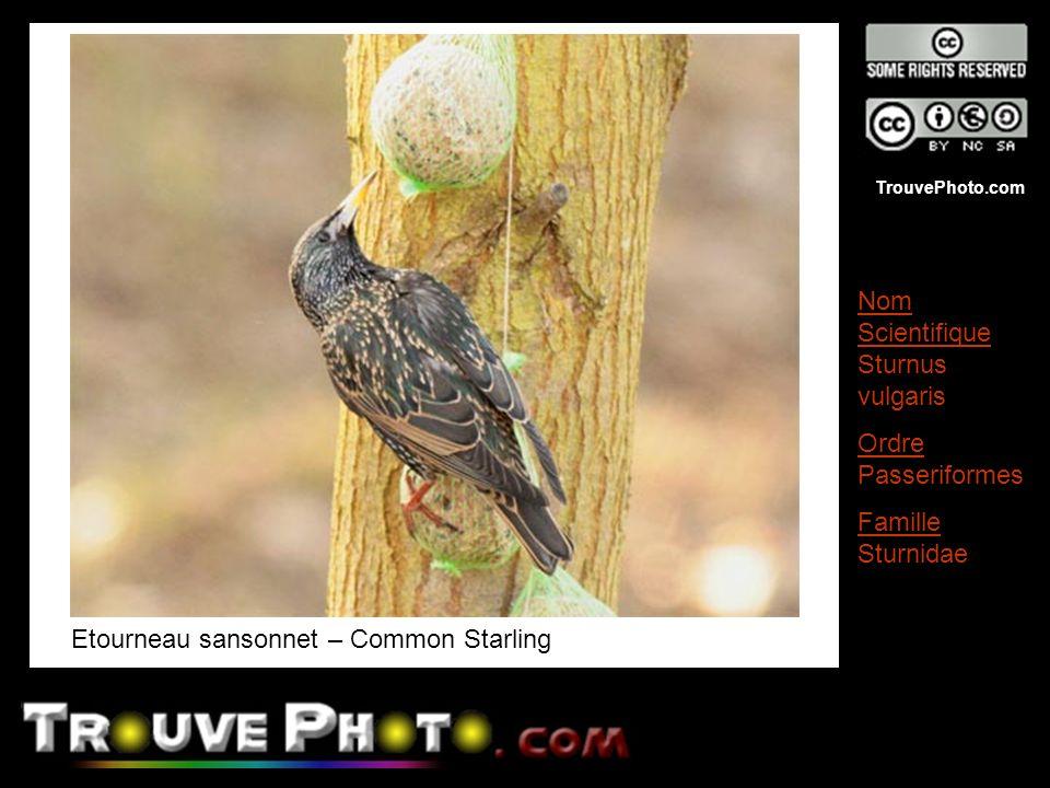 TrouvePhoto.com Etourneau sansonnet – Common Starling Nom Scientifique Sturnus vulgaris Ordre Passeriformes Famille Sturnidae
