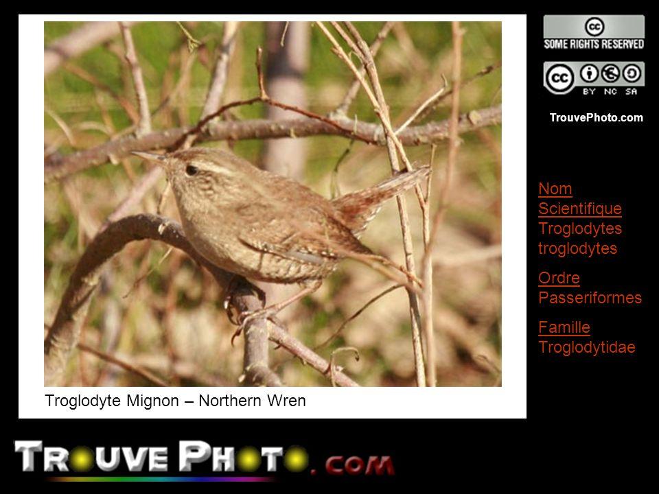 TrouvePhoto.com Troglodyte Mignon – Northern Wren Nom Scientifique Troglodytes troglodytes Ordre Passeriformes Famille Troglodytidae