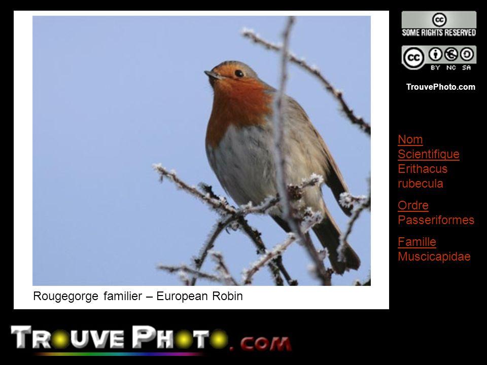 TrouvePhoto.com Rougegorge familier – European Robin Nom Scientifique Erithacus rubecula Ordre Passeriformes Famille Muscicapidae
