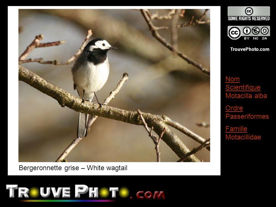 TrouvePhoto.com Bergeronnette grise – White wagtail Nom Scientifique Motacilla alba Ordre Passeriformes Famille Motacillidae