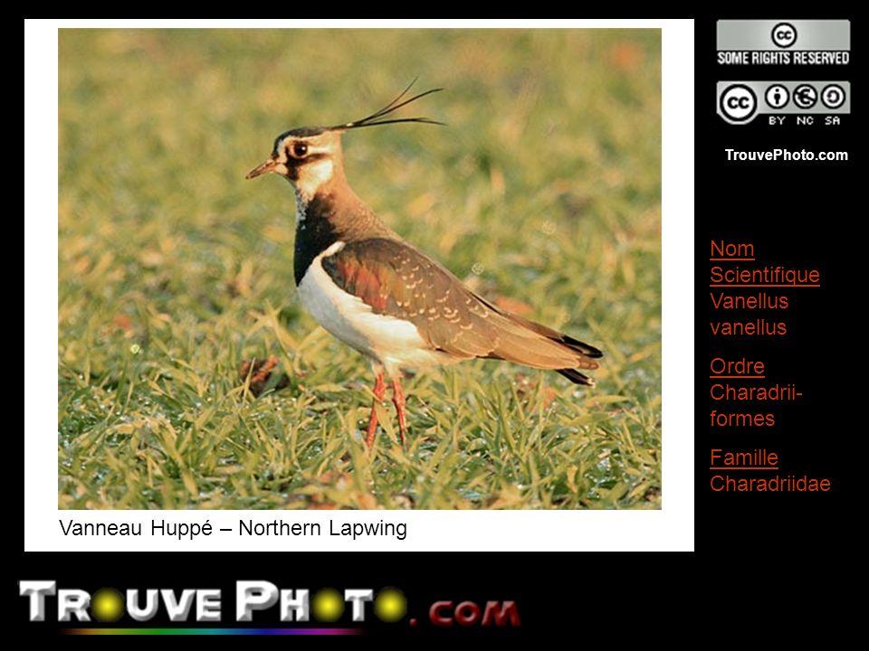 TrouvePhoto.com Vanneau Huppé – Northern Lapwing Nom Scientifique Vanellus vanellus Ordre Charadrii- formes Famille Charadriidae
