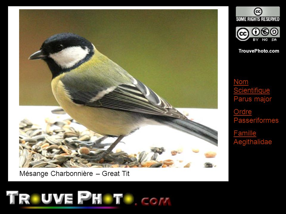 TrouvePhoto.com Mésange Charbonnière – Great Tit Nom Scientifique Parus major Ordre Passeriformes Famille Aegithalidae