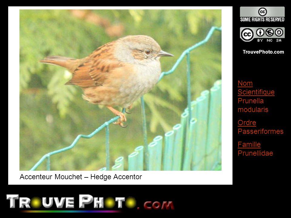 TrouvePhoto.com Accenteur Mouchet – Hedge Accentor Nom Scientifique Prunella modularis Ordre Passeriformes Famille Prunellidae