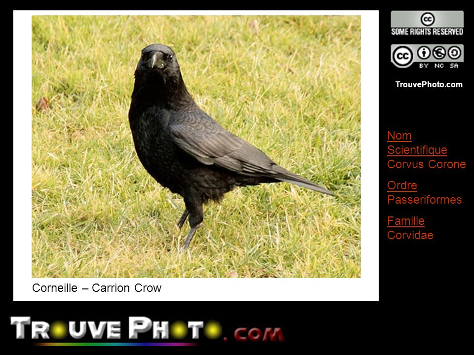 TrouvePhoto.com Corneille – Carrion Crow Nom Scientifique Corvus Corone Ordre Passeriformes Famille Corvidae