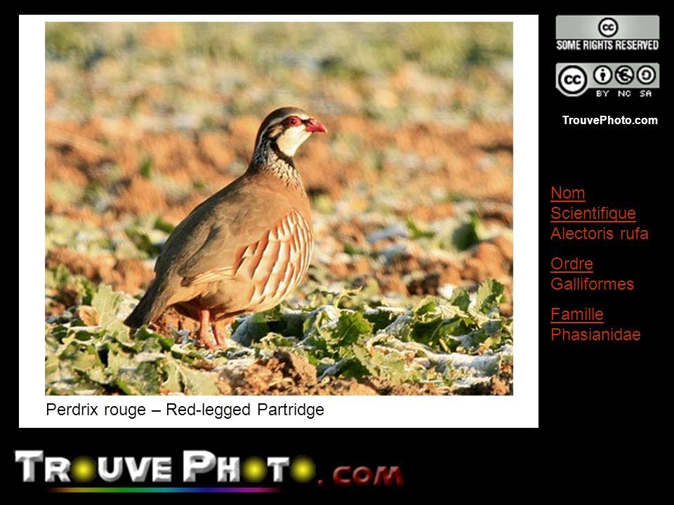 TrouvePhoto.com Perdrix rouge – Red-legged Partridge Nom Scientifique Alectoris rufa Ordre Galliformes Famille Phasianidae