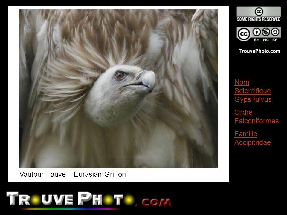 TrouvePhoto.com Vautour Fauve – Eurasian Griffon Nom Scientifique Gyps fulvus Ordre Falconiformes Famille Accipitridae