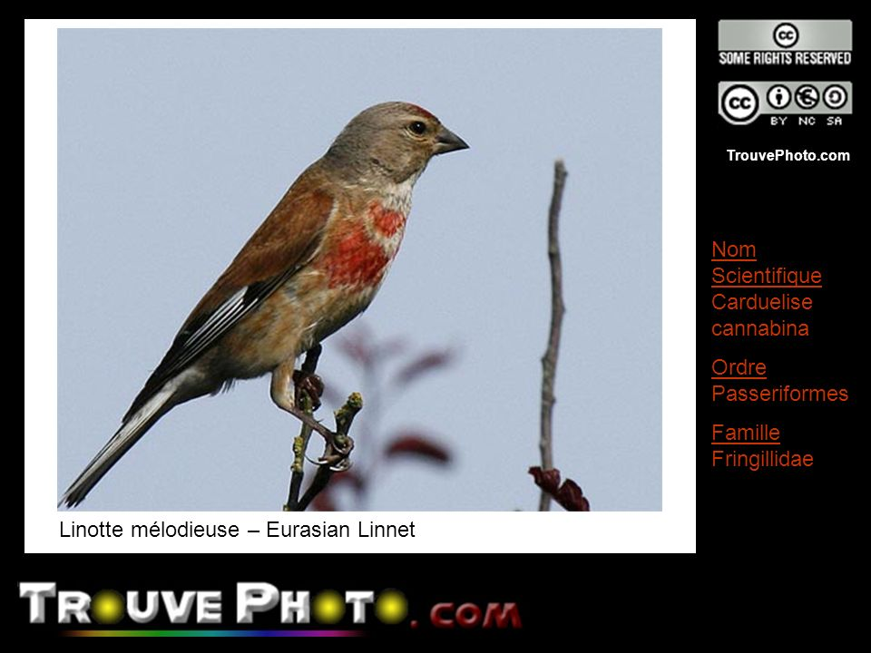 TrouvePhoto.com Linotte mélodieuse – Eurasian Linnet Nom Scientifique Carduelise cannabina Ordre Passeriformes Famille Fringillidae