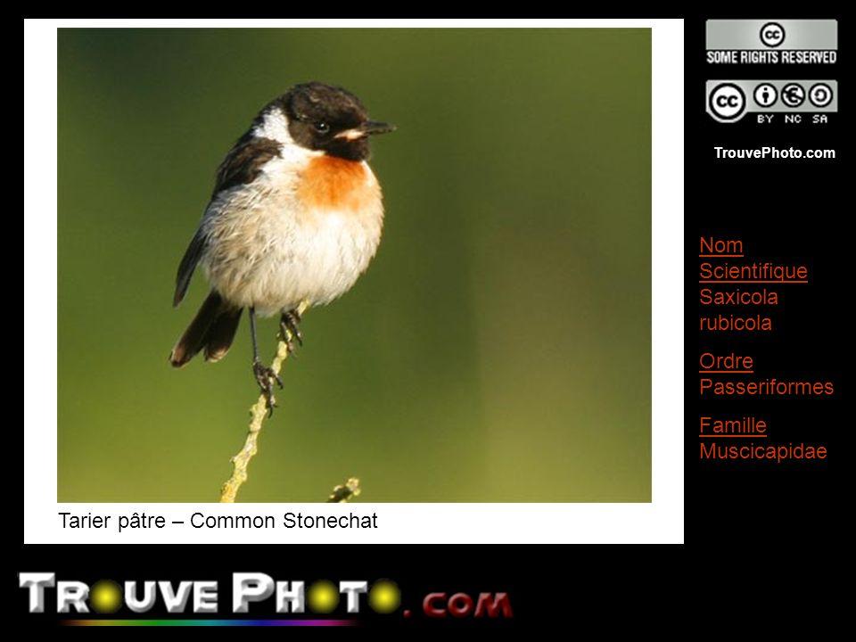 TrouvePhoto.com Tarier pâtre – Common Stonechat Nom Scientifique Saxicola rubicola Ordre Passeriformes Famille Muscicapidae