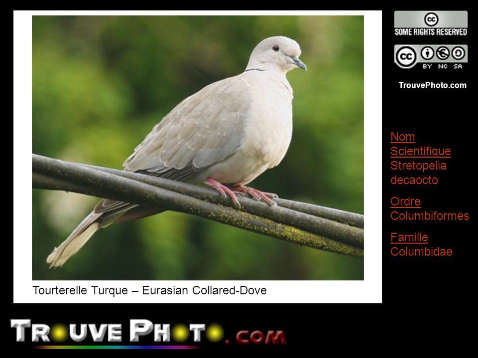 TrouvePhoto.com Tourterelle Turque – Eurasian Collared-Dove Nom Scientifique Stretopelia decaocto Ordre Columbiformes Famille Columbidae