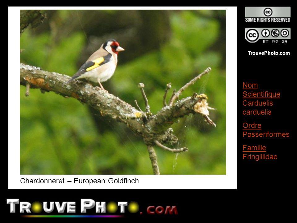 TrouvePhoto.com Chardonneret – European Goldfinch Nom Scientifique Carduelis carduelis Ordre Passeriformes Famille Fringillidae