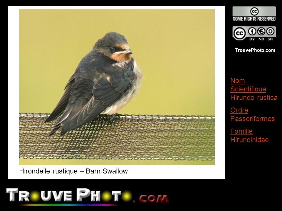 TrouvePhoto.com Hirondelle rustique – Barn Swallow Nom Scientifique Hirundo rustica Ordre Passeriformes Famille Hirundinidae