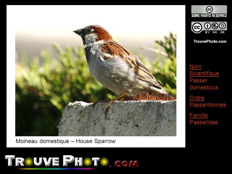 TrouvePhoto.com Moineau domestique – House Sparrow Nom Scientifique Passer domesticus Ordre Passeriformes Famille Passeridae