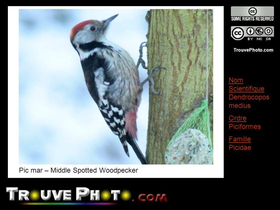 TrouvePhoto.com Pic mar – Middle Spotted Woodpecker Nom Scientifique Dendrocopos medius Ordre Piciformes Famille Picidae