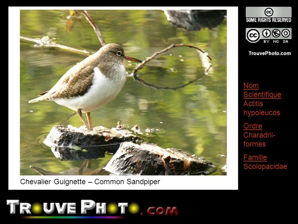TrouvePhoto.com Chevalier Guignette – Common Sandpiper Nom Scientifique Actitis hypoleucos Ordre Charadrii- formes Famille Scolopacidae