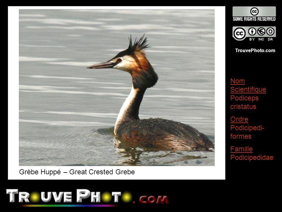 TrouvePhoto.com Grèbe Huppé – Great Crested Grebe Nom Scientifique Podiceps cristatus Ordre Podicipedi- formes Famille Podicipedidae
