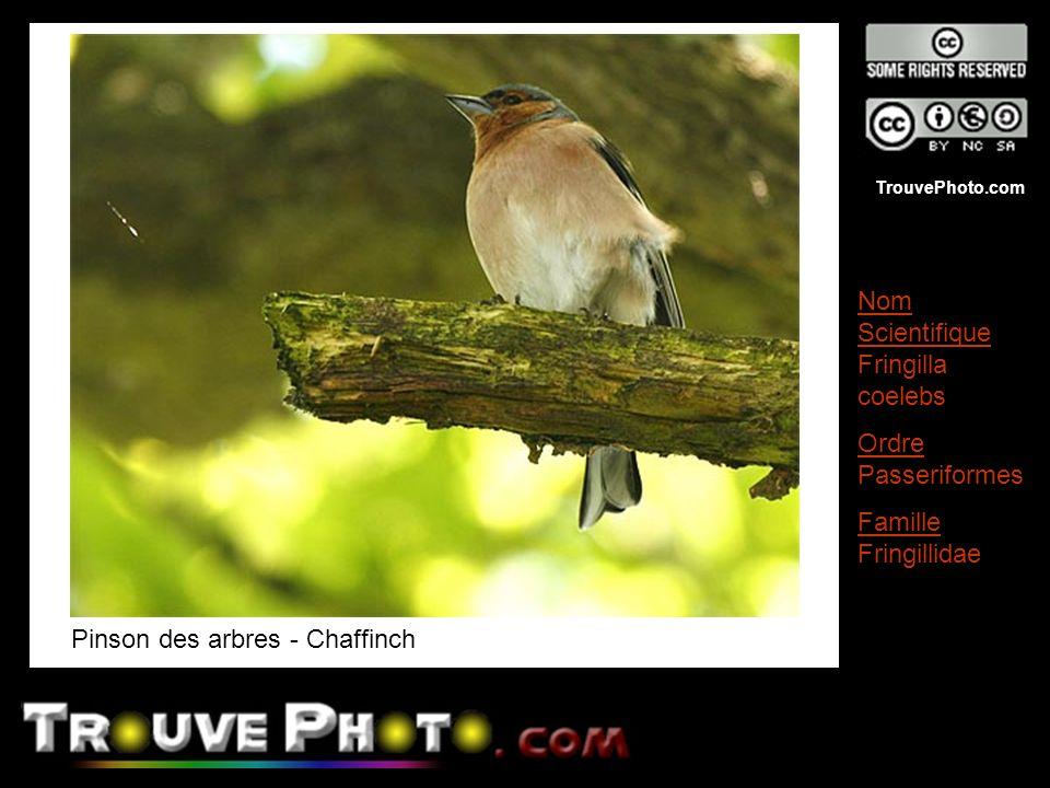 TrouvePhoto.com Pinson des arbres - Chaffinch Nom Scientifique Fringilla coelebs Ordre Passeriformes Famille Fringillidae