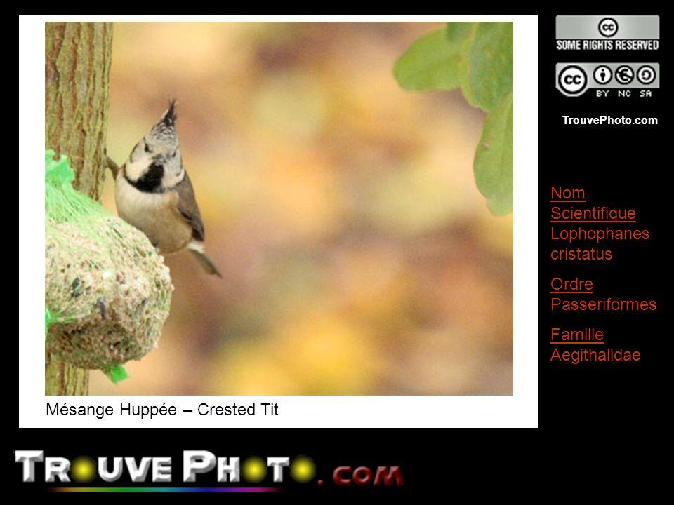 TrouvePhoto.com Mésange Huppée – Crested Tit Nom Scientifique Lophophanes cristatus Ordre Passeriformes Famille Aegithalidae