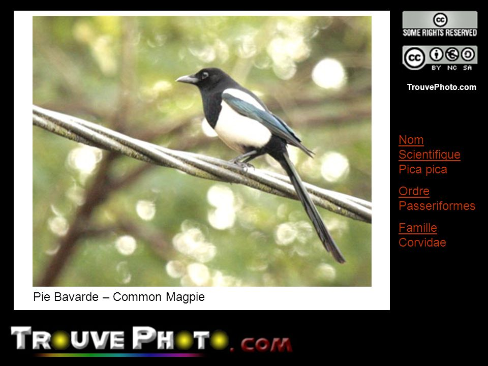 TrouvePhoto.com Pie Bavarde – Common Magpie Nom Scientifique Pica pica Ordre Passeriformes Famille Corvidae